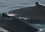 Salt the Humpback Whale and calf