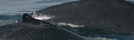 Salt the Humpback Whale and calf